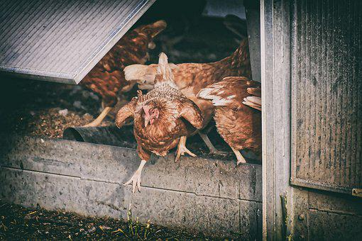 Chickens, Poultry, Free Running, Happy Hens, Free Range