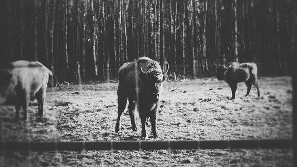 Bison, Animals, Wild, Huge, Pasture Land, Nature, Herd