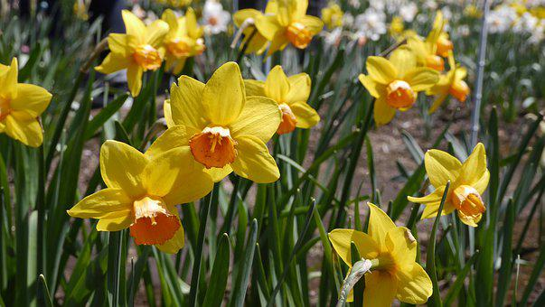 Narcissus, Flowers, Yellow, Spring, April, Plateau