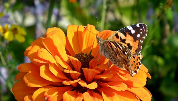 Butterfly, Insect, Flower, Zinnia, Orange, Nature