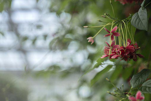 Quisqualis Indica, Flowers, Plants, Nature, Flower, Red