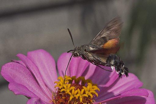 Zinnia, Bee, Sphinx, Flower, Garden