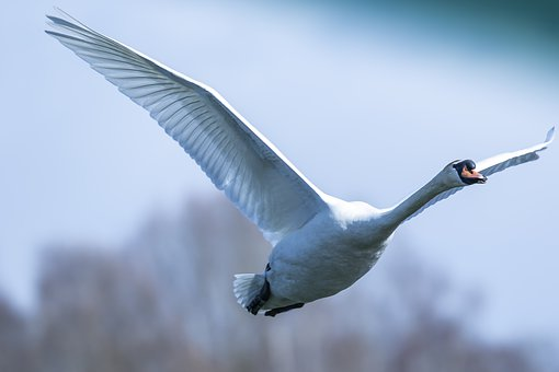Swan, Araignée, Start, Departure, Waterfowl, Take Off