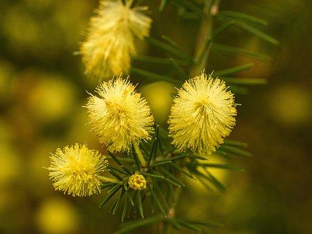 Flower, Blossom, Bloom, Acacia, Mimosa Plant, Macro