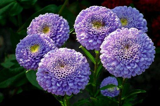 Astra, Blue, Flowers, Garden, Nature, Summer