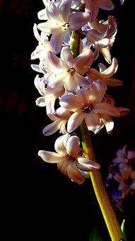 Close-Up, Macro, Flowers, Hyacinth