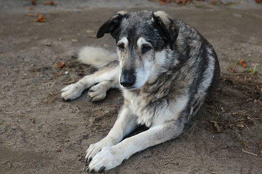 Dog, Animal, Hybrid, Old Dog