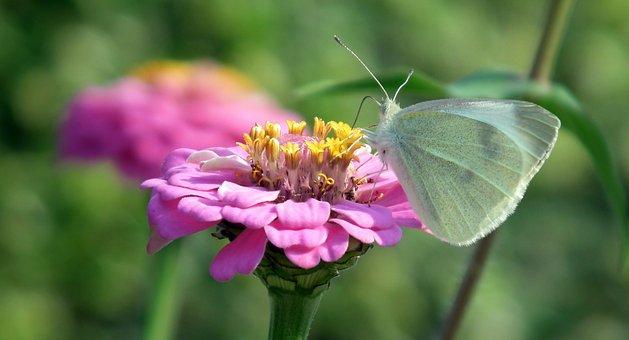 Butterfly, Insect, Bielinek, Zinnia, Flower, Pink