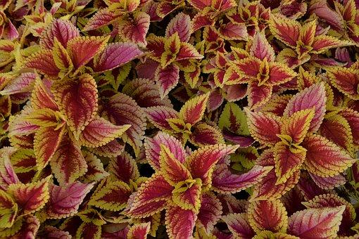 Coleus Plants, Flowerbed, Botany, Blossom, Botanical