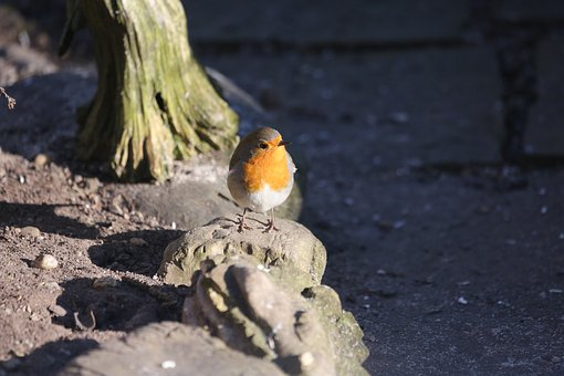 Robin, Bird, Feather, Garden Bird, Close Up, Foraging