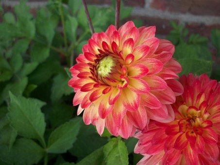 Dahlia, Flower, Bloom, Plant, Garden, Nature, Summer