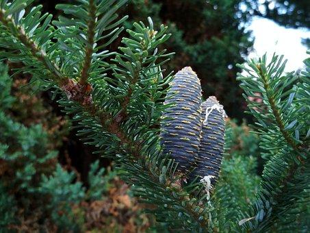 Pine Cone, Cones, Needle, Needles, Iglak, Nature, Tree