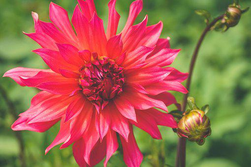 Dahlia, Dahlia Garden, Ornamental Flower, Late Summer