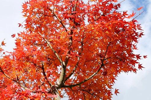 Kaede, Japan, Autumn, Winter, Plant, Garden, Natural