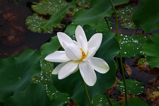 Lotus, Pond, Flowers, Nature, Plants, Water Lilies