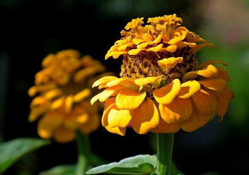 Zinnia, Flowers, Yellow, Garden, Nature, Summer, Macro