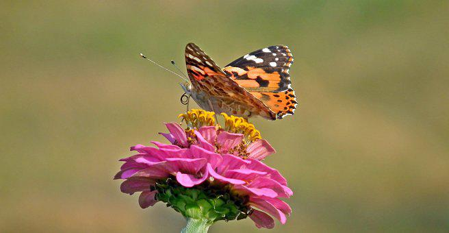 Butterfly, Insect, Zinnia, Flower, Nature, Macro