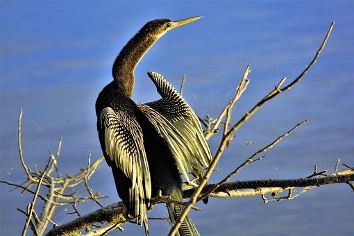 Bird, Large, Long, Neck, Extended, American Darter Bird