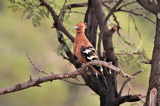 African Hoopoe, Bird, Watching, Spotting, Pilanesberg