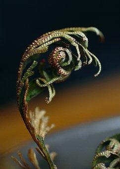 Rose Of Jericho, Plant, Resurrection Plant, Desert Rose