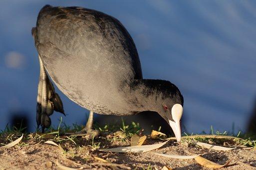 Bird, Coot, Plumage, Black, Beak, White