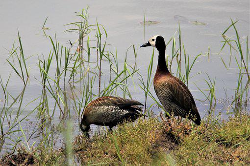 White Face Whistling Duck, Bird, Watching, Spotting