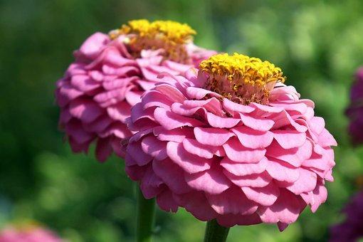 Tin, Flowers, Pink, Summer, Nature, Garden, Macro