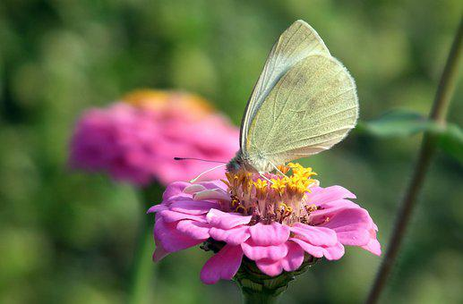 Butterfly, Insect, Bielinek, Flowers, Tin, Nature