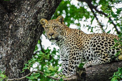 Leopard, Big Cats, Cat, Predator, Animal, Wildlife