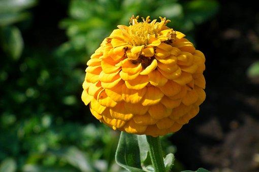 Zinnia, Yellow, Flower, Blooming, Summer, Nature
