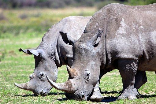 Rhino, Africa, Wide Mouth, Safari, Eat, Botswana