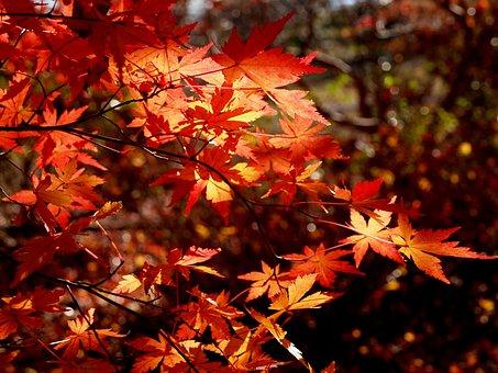 Autumnal Leaves, Maples, Winter, Arboretum, Red