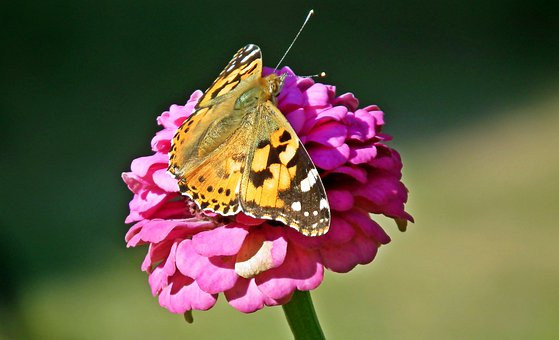 Butterfly, Insect, Zinnia, Flower, Closeup, Nature
