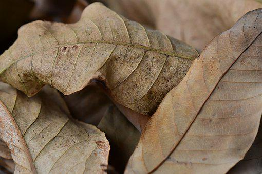 Dry Leaves, Dried, Dull, Autumn, Brown, Color, Outdoors
