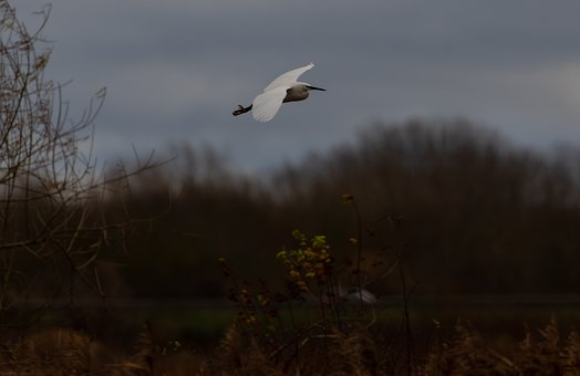 Egret In Flight, Flying Egret, Egret, Common Egret