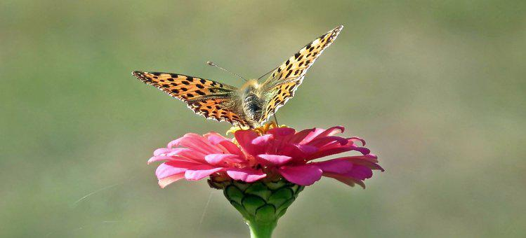 Butterfly, Insect, Zinnia, Flower, Nature, Flowers