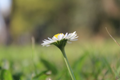 Daisy, Flower, Spring, Nature, Green, Grass, Plant