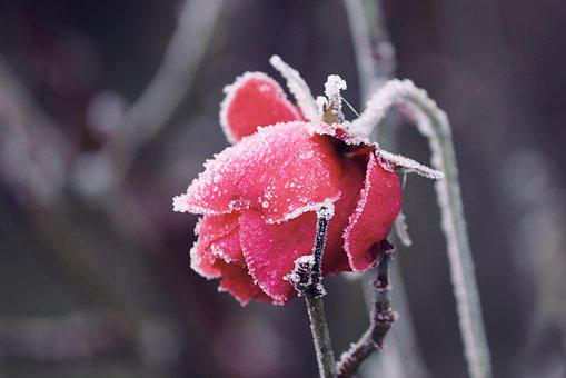 Frozen, Blossom, Bloom, Rose, Ripe, Head, Depend, Ice