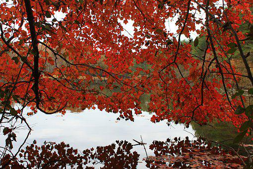 Autumn, Red Trees, Red, Nature, Tree, Trees, Leaves
