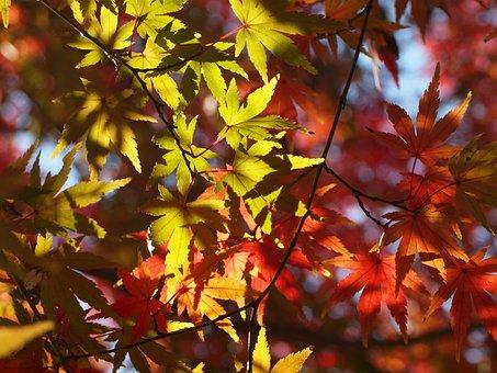 Autumnal Leaves, Maples, Winter, Arboretum, Red, Green
