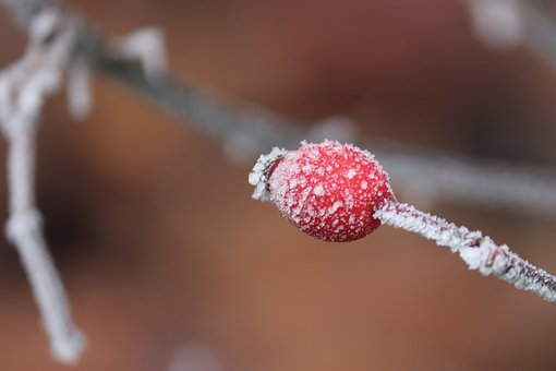 Rose Hip, Winter, Ripe, Cold, Nature, Red, Frost, Ice