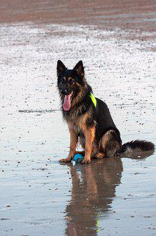 German, Shepherd, Dog, Animal, Pet, Portrait, Canine