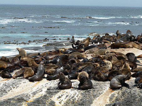 Seal Island, Crawl, South Africa, Nature