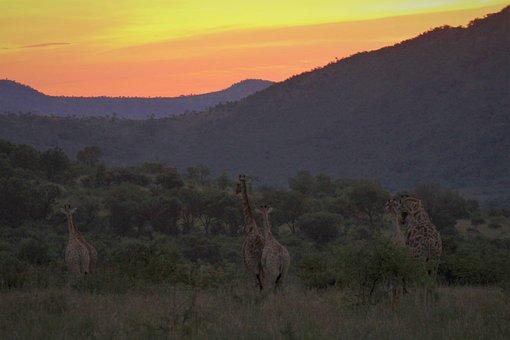Giraffes, Looking, Sunset, Dusk, Mountain, Hills
