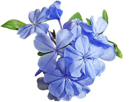 Flower, Blue, Plumbago, Cut Out, Isolated, Garden