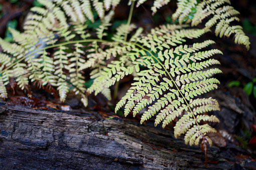 Fern, Forest, California, Plant, Nature, Green, Flora
