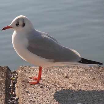 Seagull, Cheeky, Water Bird, Curious, According To