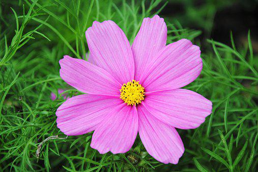 Pink, Flower, Colorful, Summer, Flora, Plant, Garden