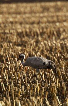 Crane, Bird, Animal, Color, Animal World Of, Nature