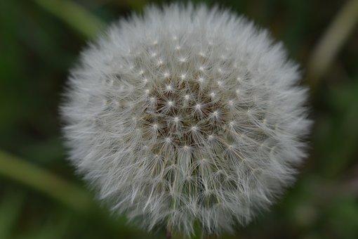 Dandelion, Flower, Flora, Odkvytnuté, Nature, Plant